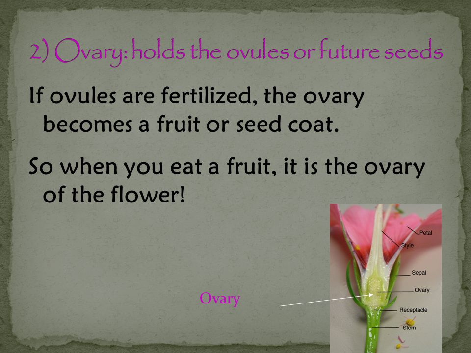 2) Ovary: holds the ovules or future seeds