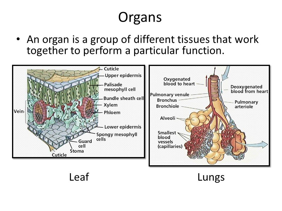 how is the structure of arteries and veins adapted for their function Blood vessels: arteries, capillaries & more for this reason, veins do not tend to hold their shape and can appear floppy the structure and function of large biological molecules campbell biology chapter 6: a tour of the cell.