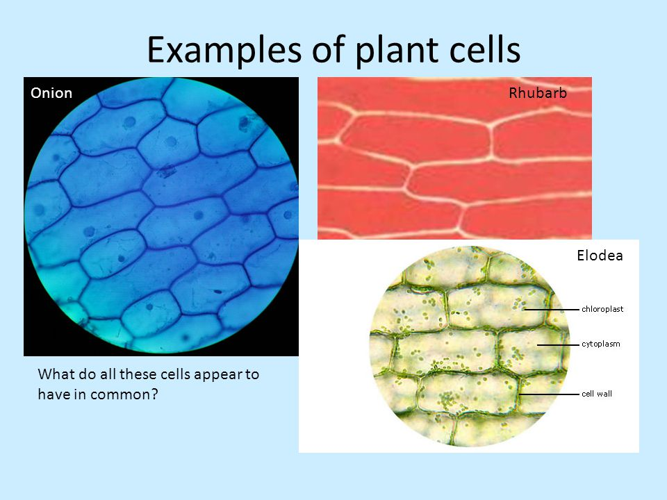cell bio report 1 Plant cell reports publishes original, peer-reviewed articles on new advances in all aspects of plant cell science, plant genetics and molecular biology papers selected for publication contribute significant new advances to.