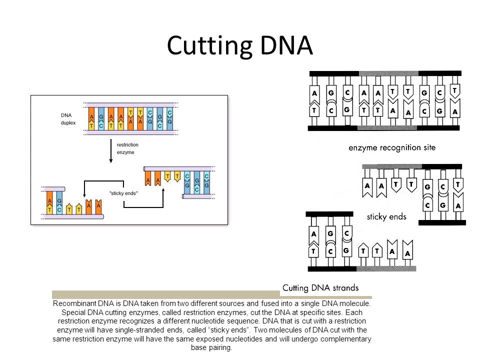 Cutting DNA