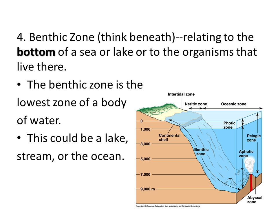 4. Benthic Zone (think beneath)--relating to the bottom of a sea or lake or to the organisms that live there.