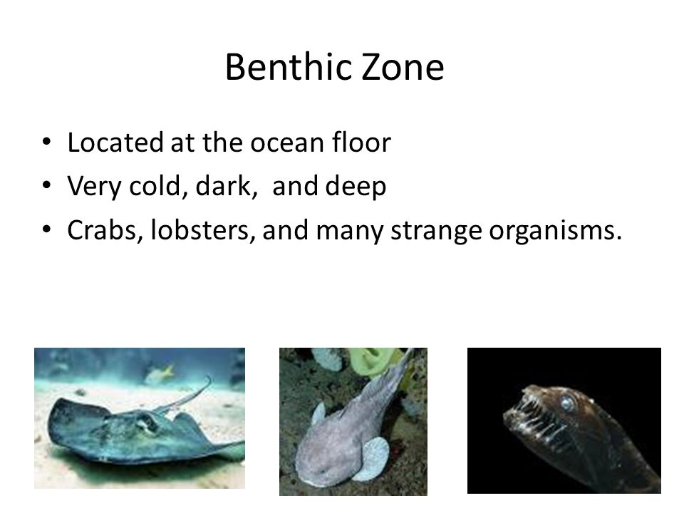 Benthic Zone Located at the ocean floor Very cold, dark, and deep