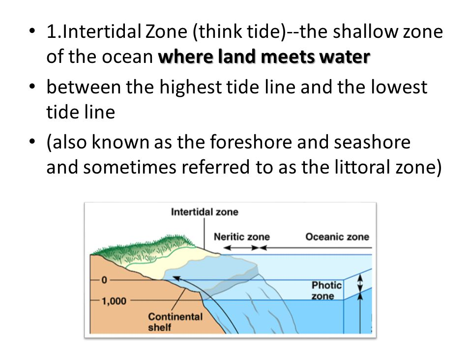 1.Intertidal Zone (think tide)--the shallow zone of the ocean where land meets water