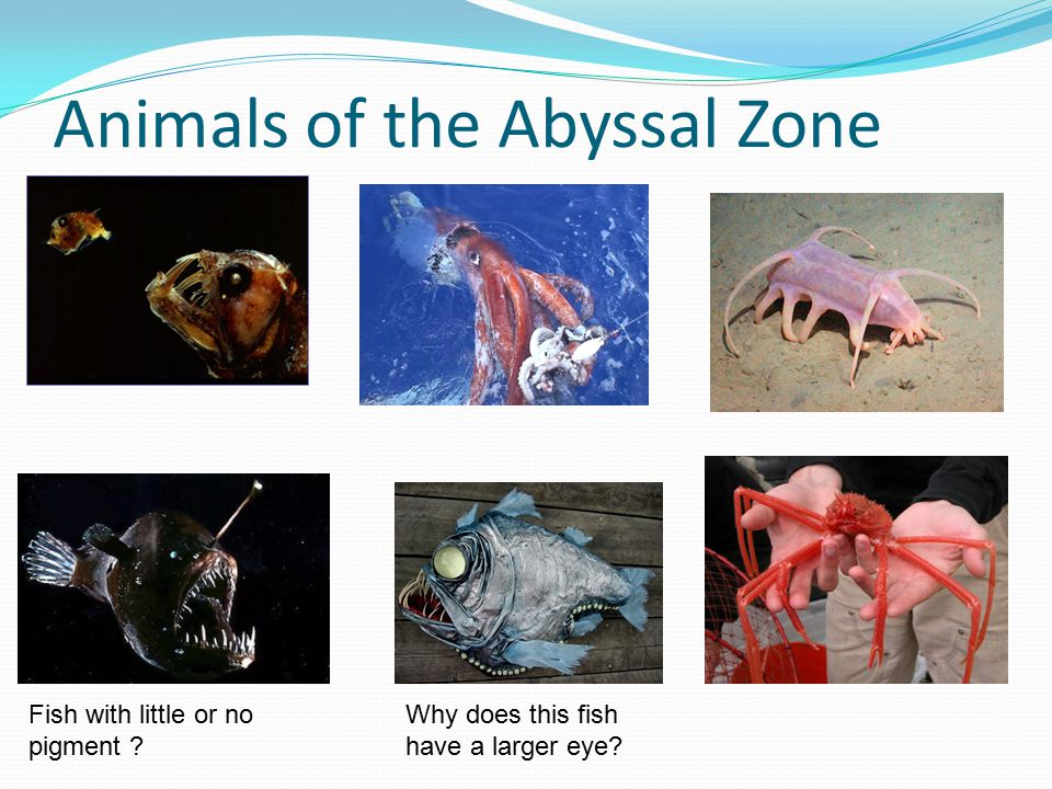 Animals of the Abyssal Zone