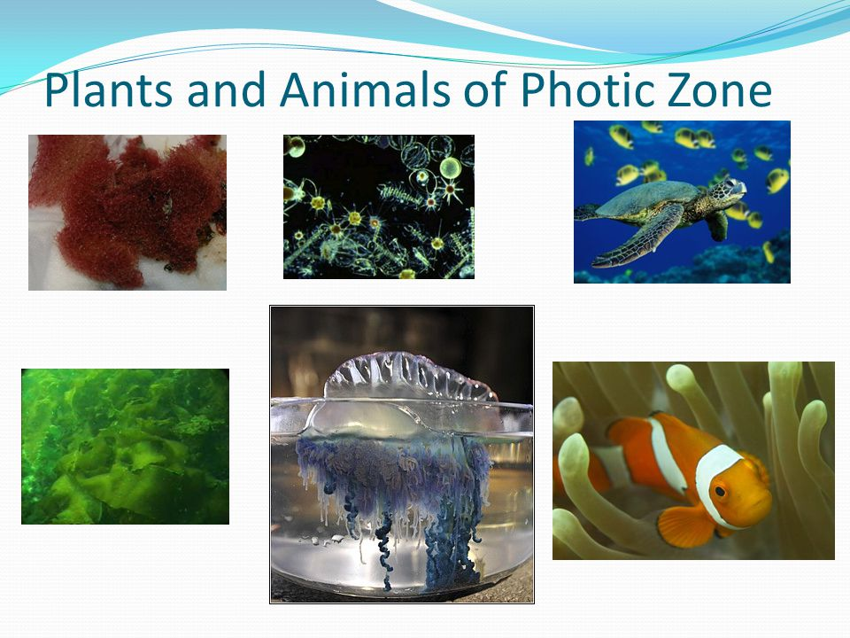 Plants and Animals of Photic Zone