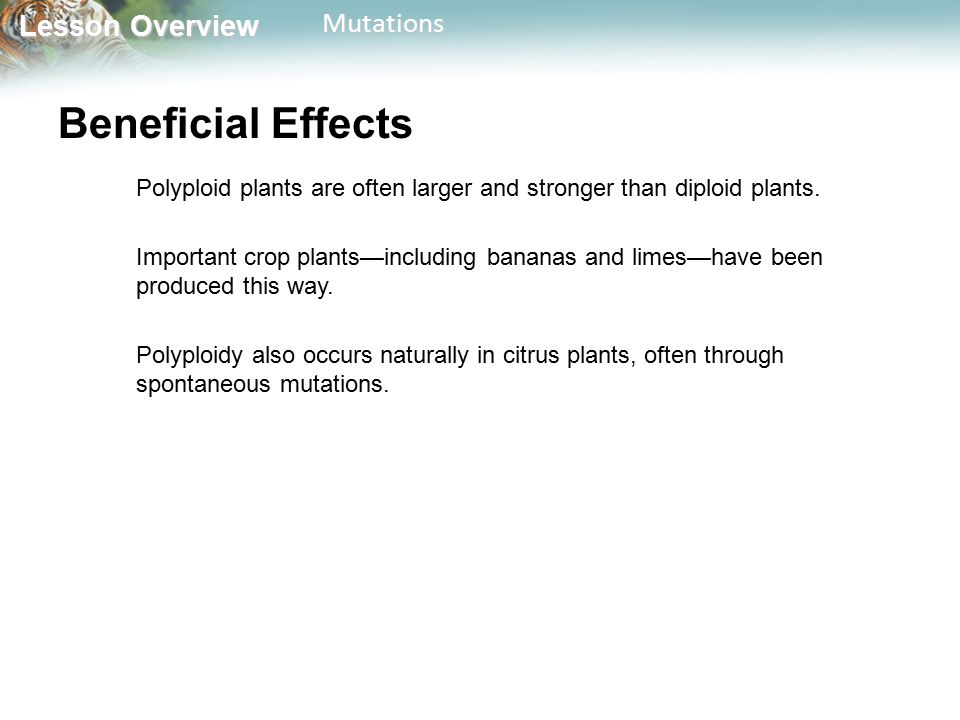 Beneficial Effects Polyploid plants are often larger and stronger than diploid plants.
