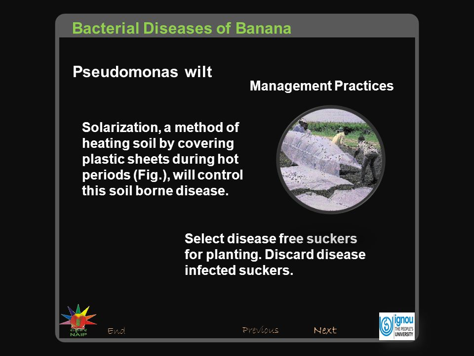 Bacterial diseases of banana ppt video online download for Soil borne diseases