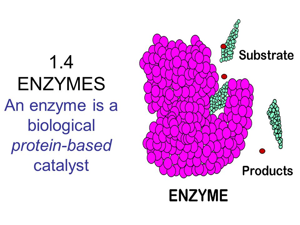 1 4 enzymes an enzyme is a biological protein based catalyst ppt
