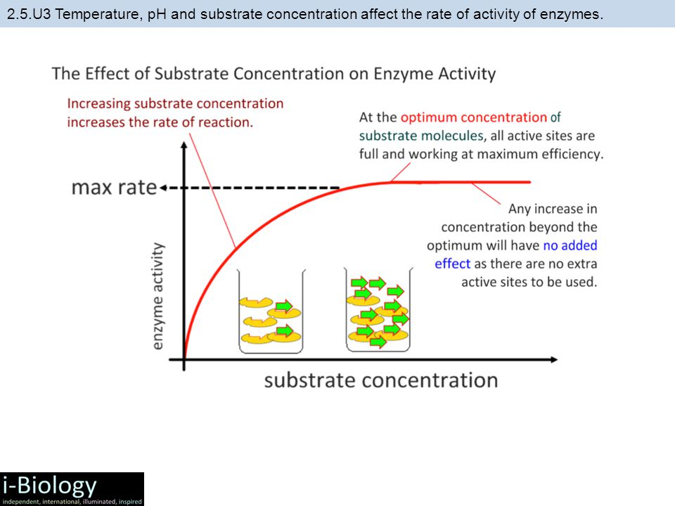 affect of concentration of enzymes on In this lesson, we'll explore what an enzyme is, what an enzymatic reaction is and what happens to the rate of a reaction if you add more enzymes.