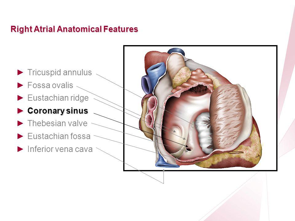 Eustachian Valve Anatomy