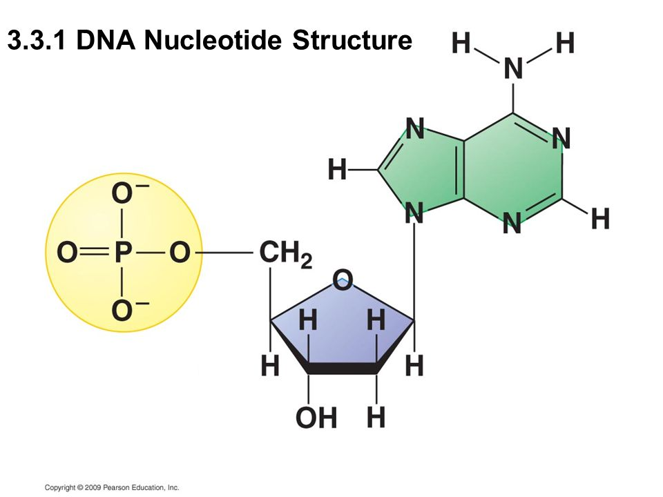 33 and 34 dna structure and replication ppt video online download 11 331 dna nucleotide structure ccuart Images