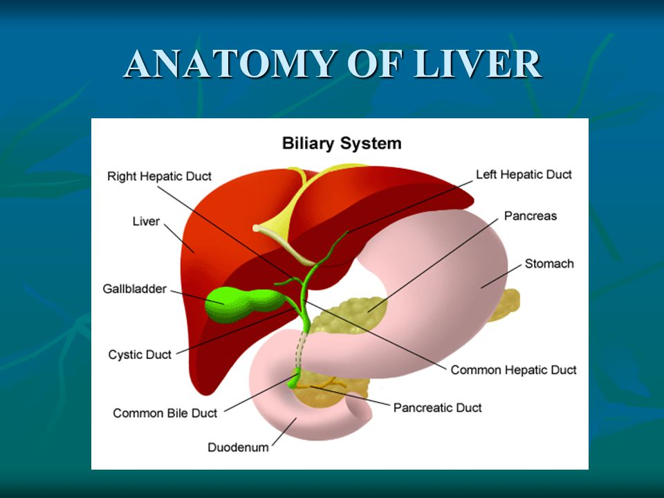 Anatomy of the liver and gallbladder 7093069 - follow4more.info