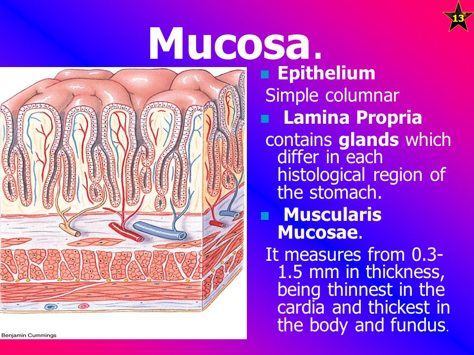 Mucosa. Epithelium Simple columnar Lamina Propria