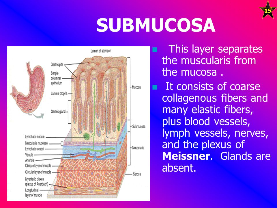 SUBMUCOSA This layer separates the muscularis from the mucosa .