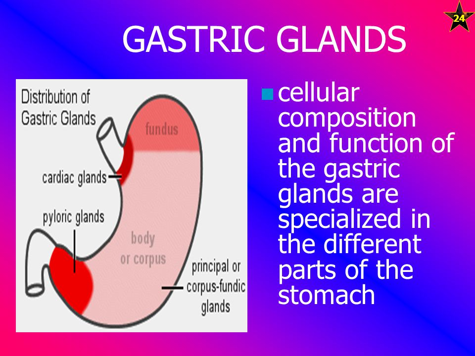 GASTRIC GLANDS cellular composition and function of the gastric glands are specialized in the different parts of the stomach.