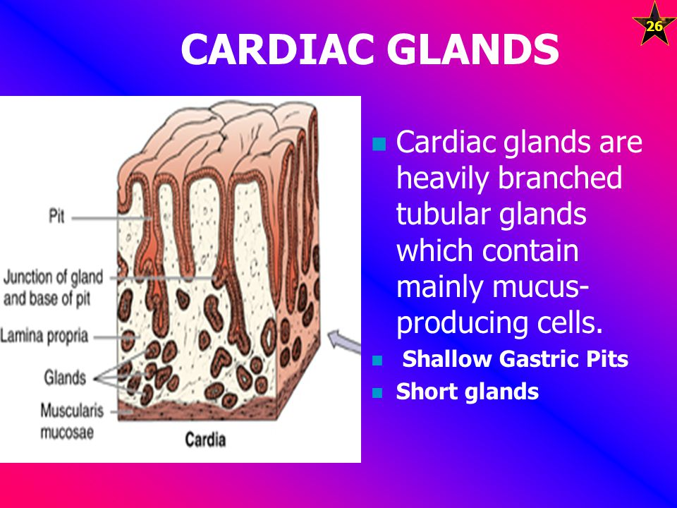 CARDIAC GLANDS Cardiac glands are heavily branched tubular glands which contain mainly mucus-producing cells.