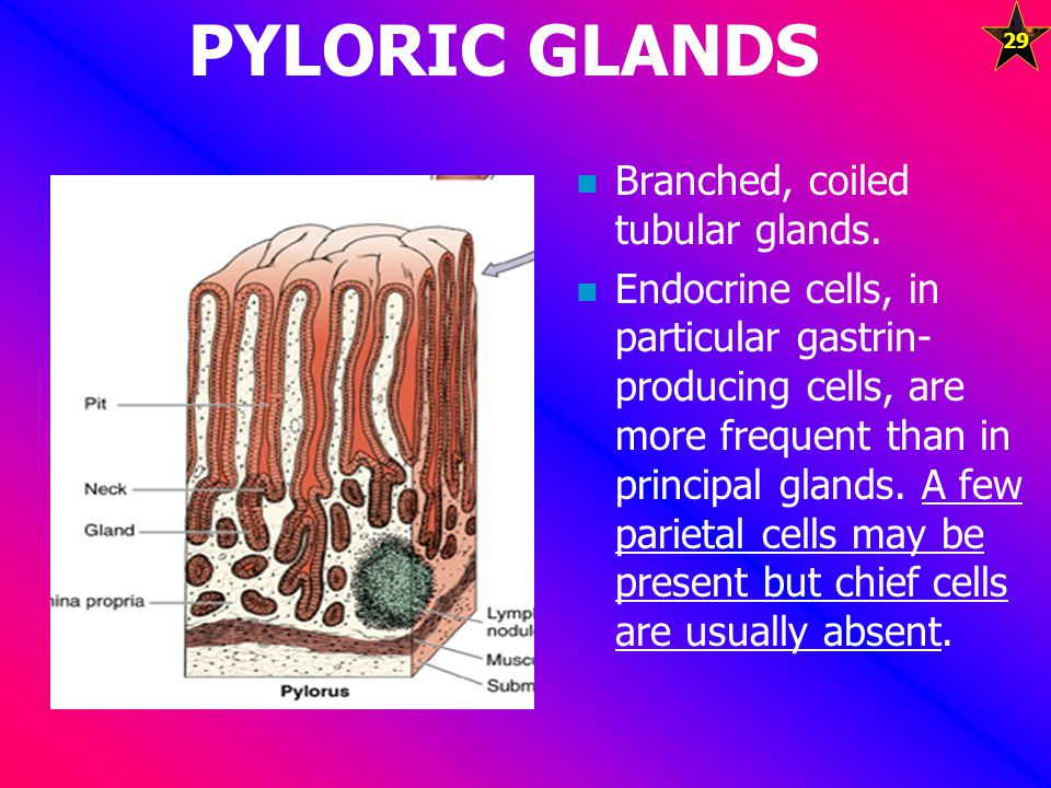 PYLORIC GLANDS Branched, coiled tubular glands.