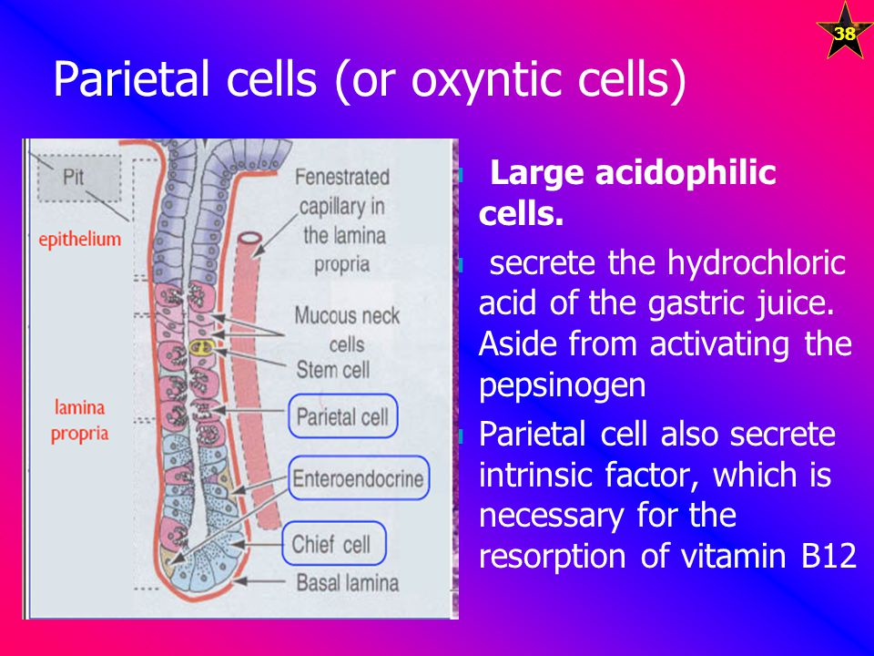 Parietal cells (or oxyntic cells)