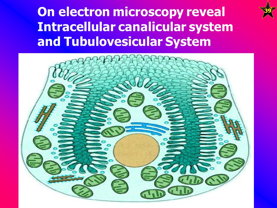 On electron microscopy reveal Intracellular canalicular system and Tubulovesicular System