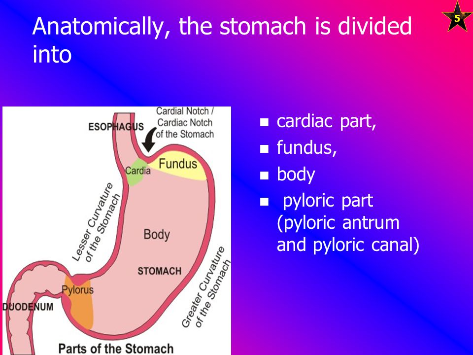 Anatomically, the stomach is divided into