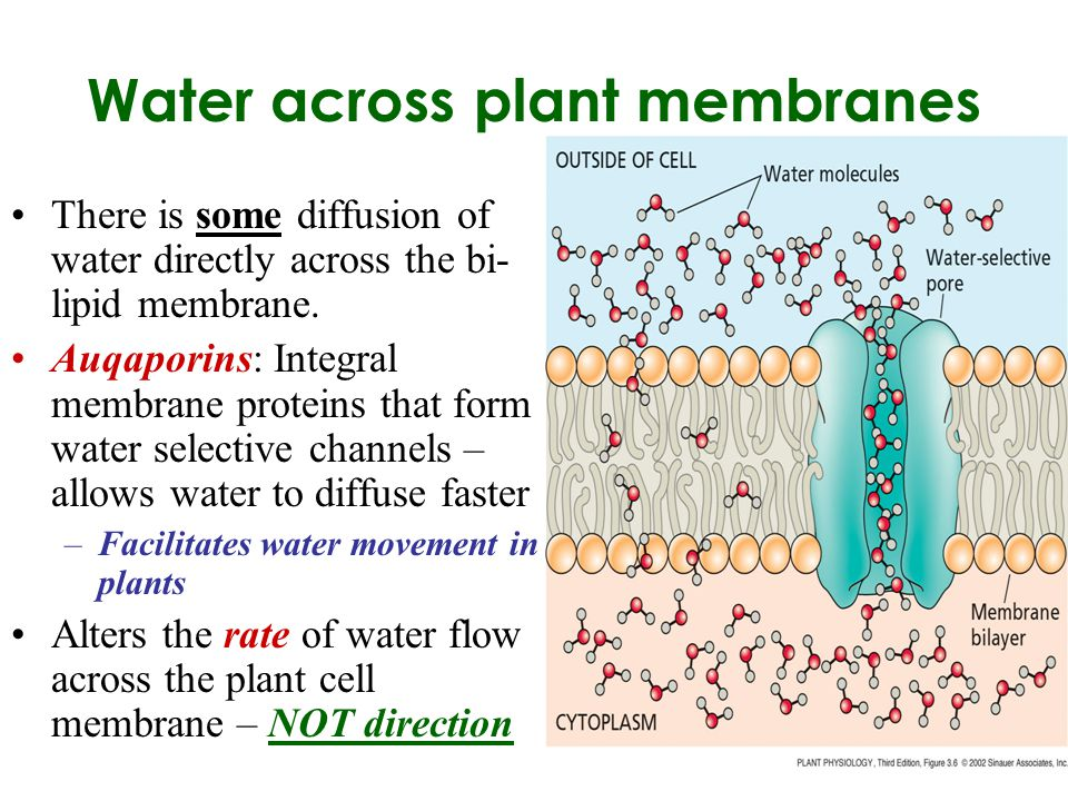water movement in plants The resistances to water movement in the plant driving force: the driving force for transpiration is the difference in water potential between the soil and the atmosphere surrounding the plant.