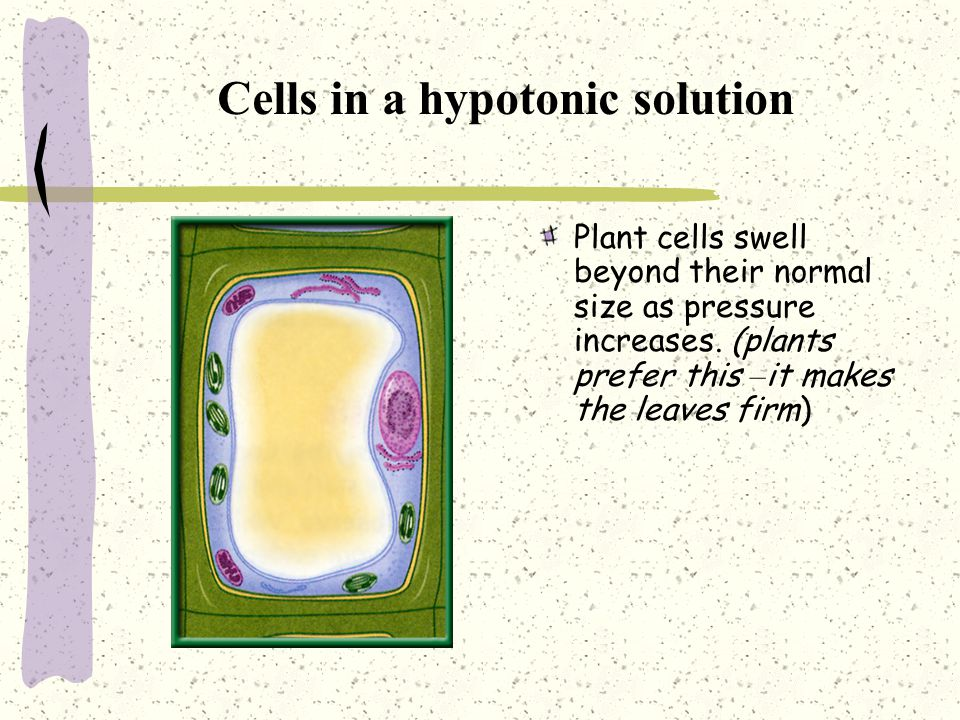 Cells in a hypotonic solution