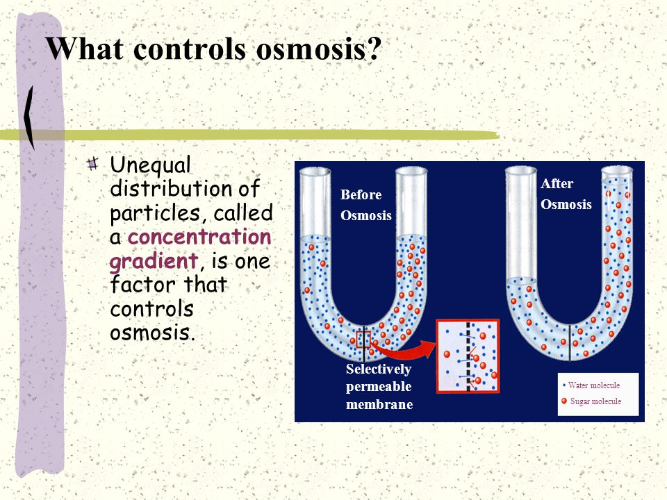 What controls osmosis Unequal distribution of particles, called a concentration gradient, is one factor that controls osmosis.