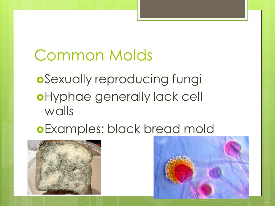 Common Molds Sexually reproducing fungi