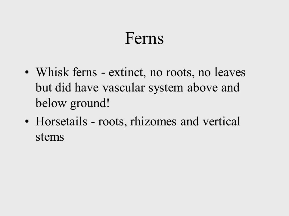 Ferns Whisk ferns - extinct, no roots, no leaves but did have vascular system above and below ground!