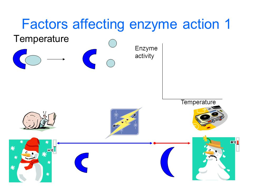 Factors affecting enzyme action 1