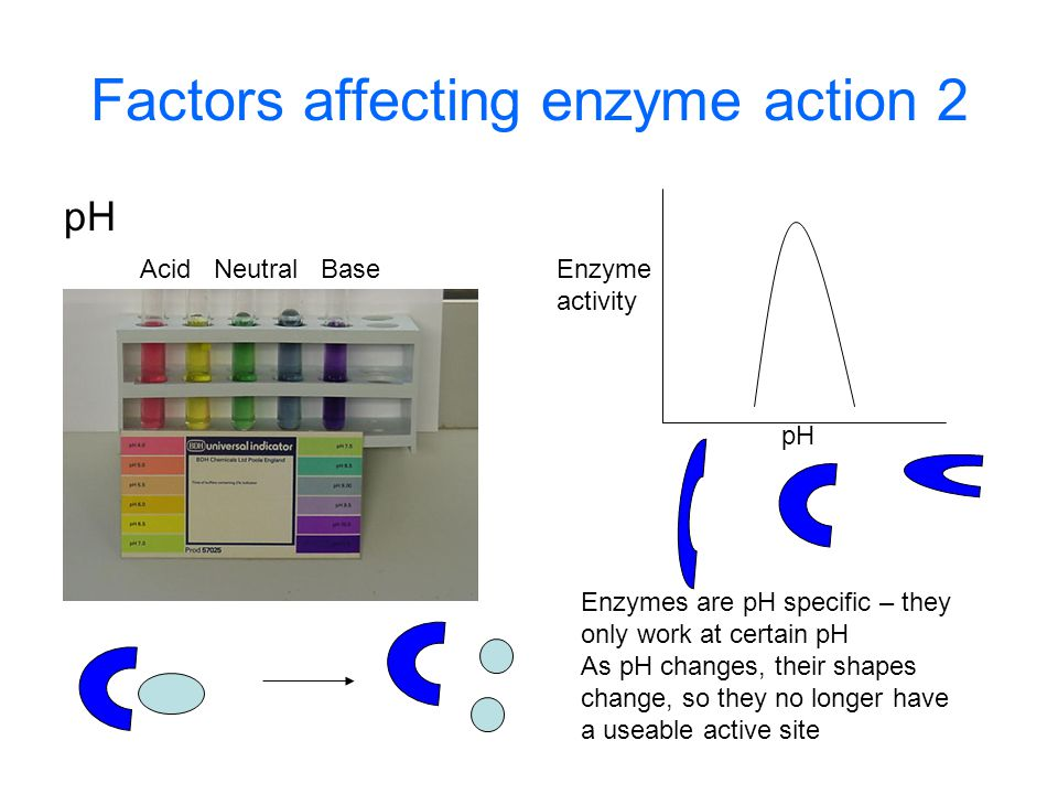 Factors affecting enzyme action 2