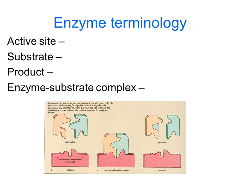 Enzyme terminology Active site – Substrate – Product –