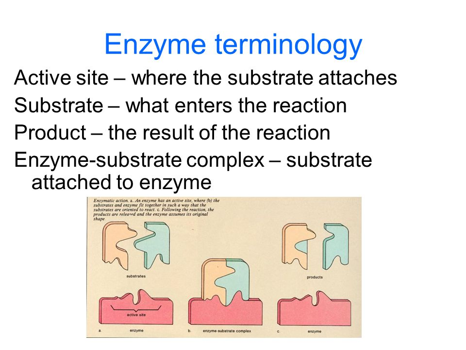Enzyme terminology Active site – where the substrate attaches