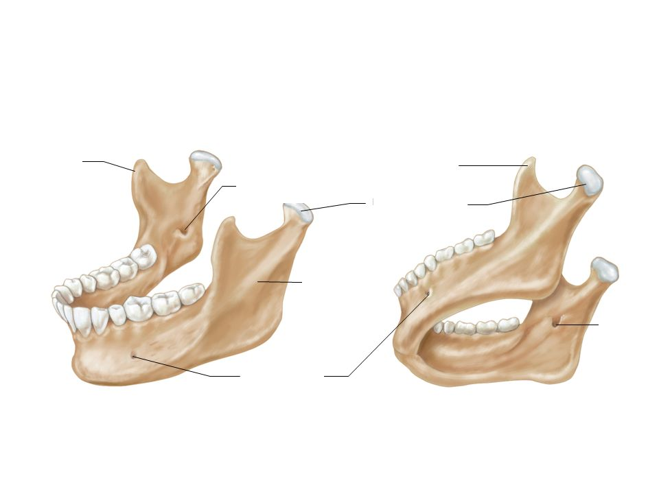 Mandibular condyle anatomy