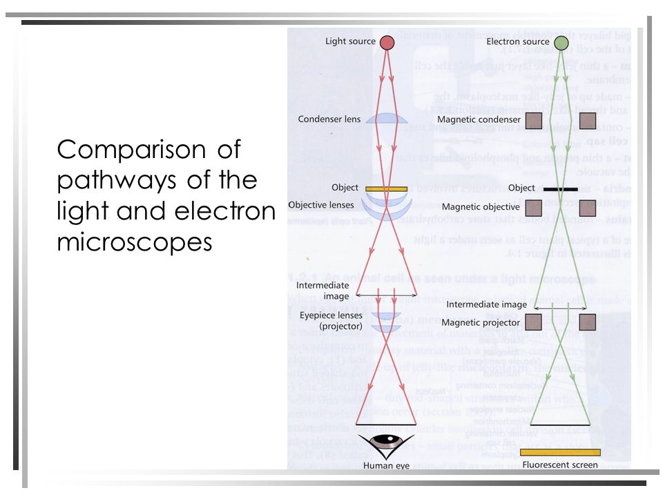 Comparison of pathways of the light and electron microscopes