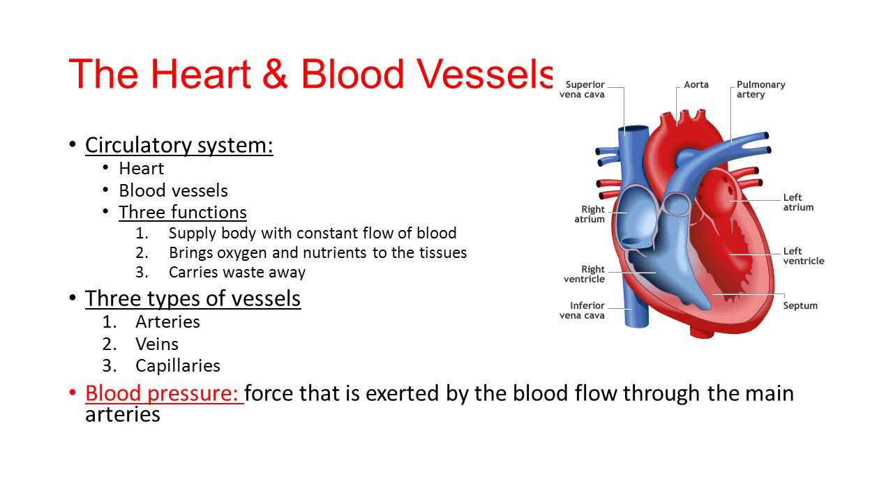 Major Blood Vessels That Carry Blood Away From the Heart 4453469 ...