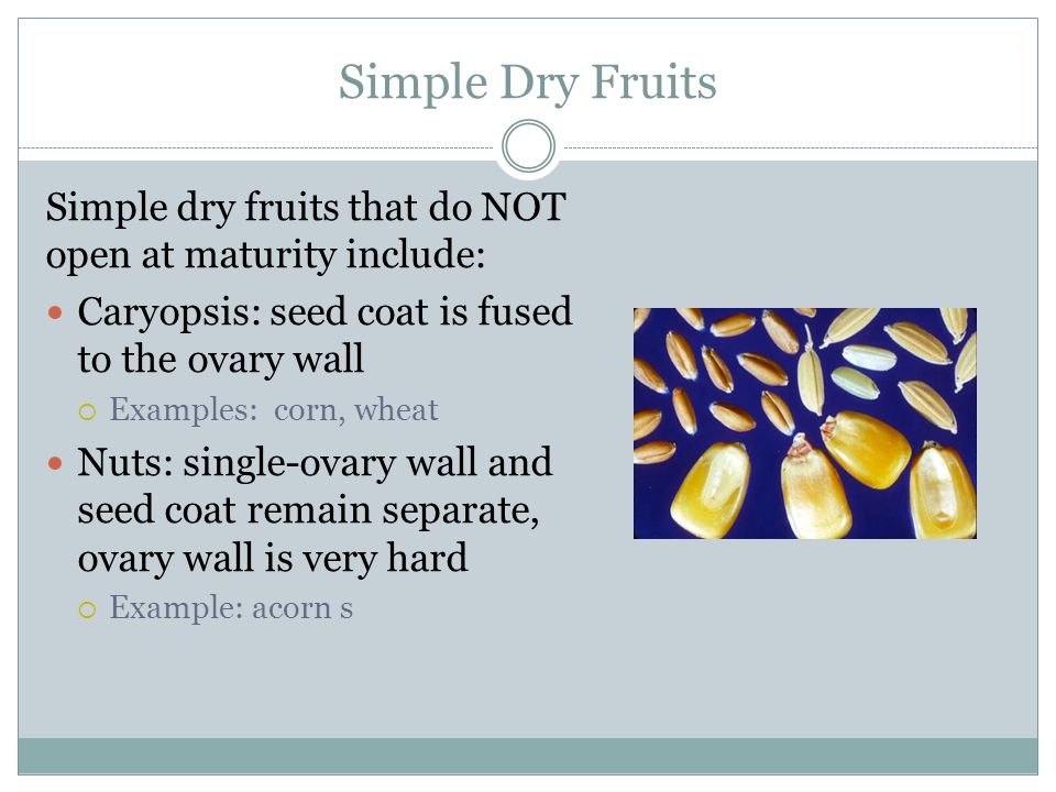 Simple Dry Fruits Simple dry fruits that do NOT open at maturity include: Caryopsis: seed coat is fused to the ovary wall.