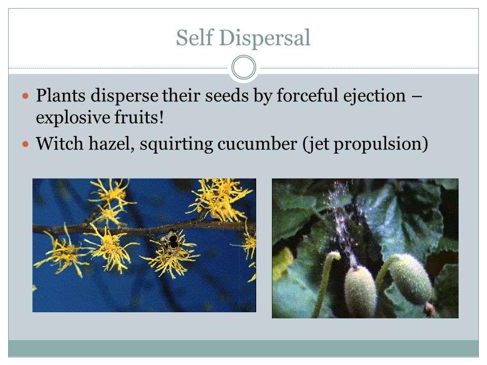 Self Dispersal Plants disperse their seeds by forceful ejection – explosive fruits.