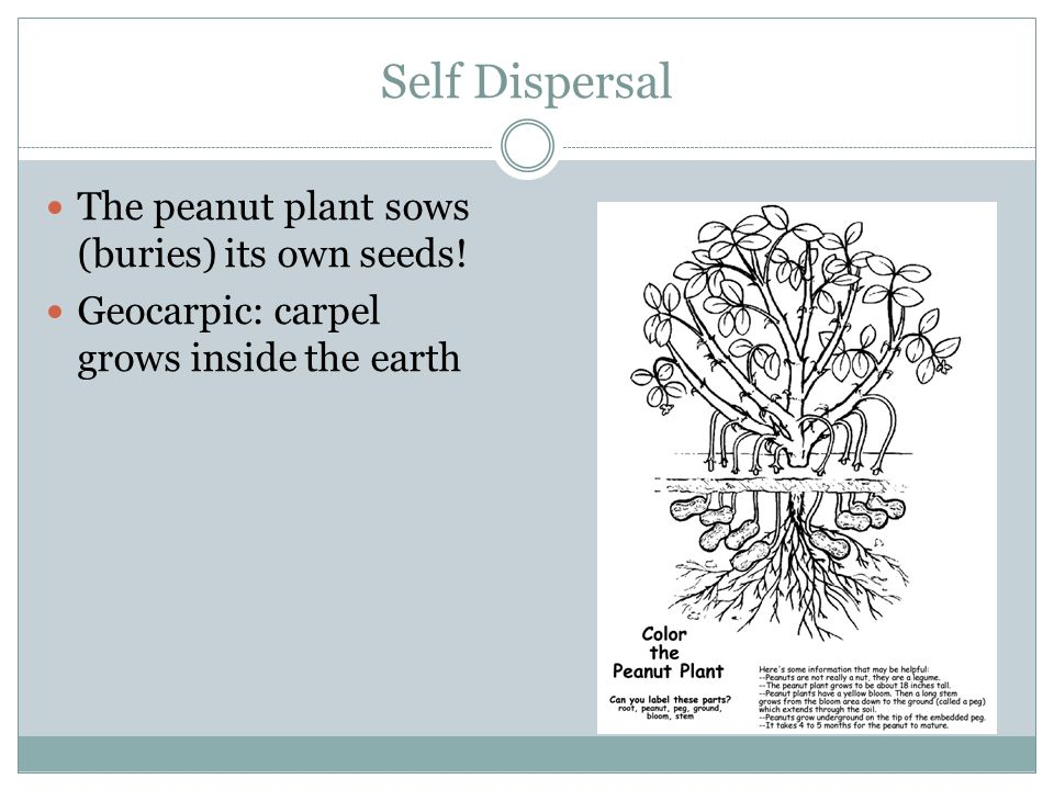 Self Dispersal The peanut plant sows (buries) its own seeds!