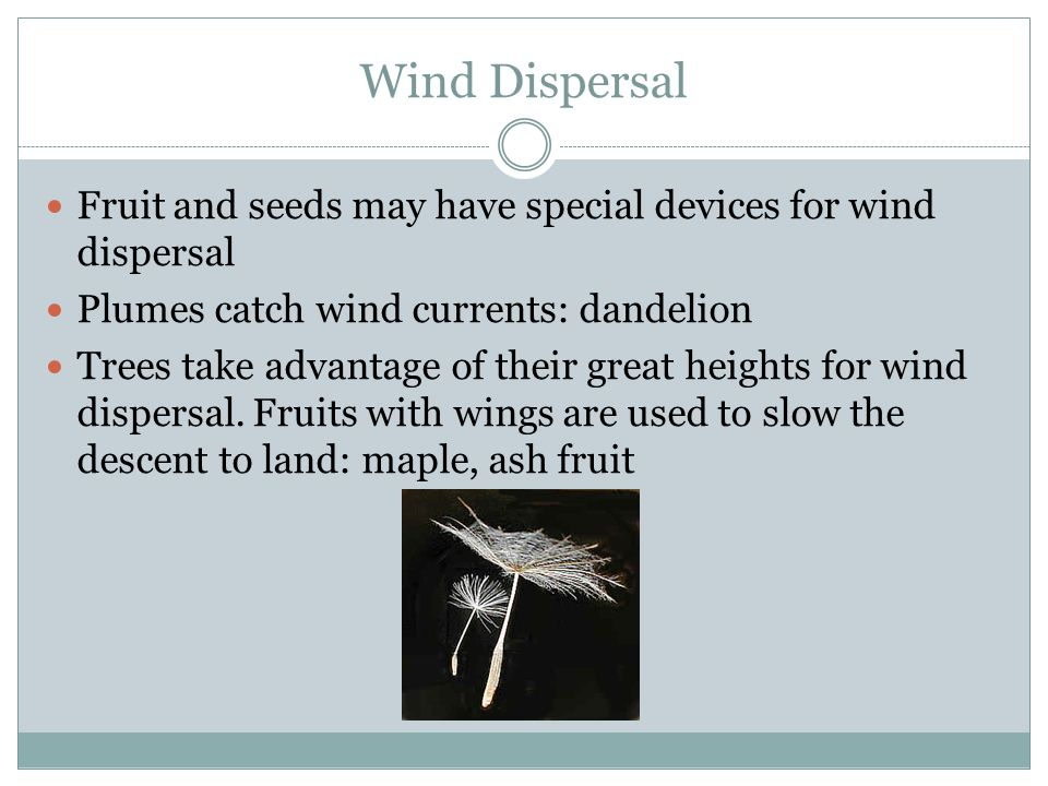 Wind Dispersal Fruit and seeds may have special devices for wind dispersal. Plumes catch wind currents: dandelion.
