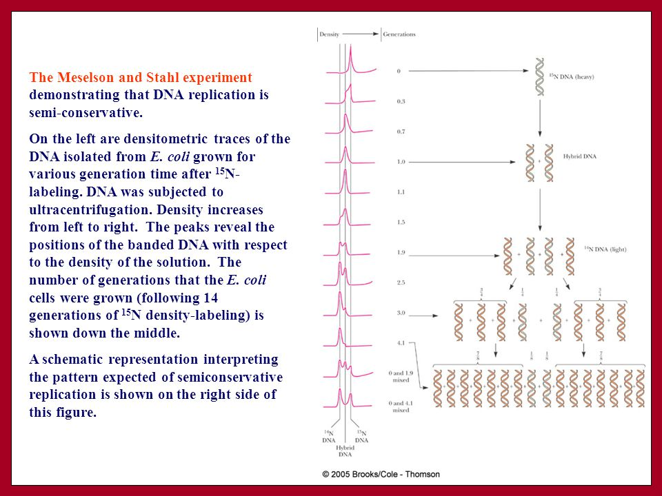 Dna metabolism replication recombination and repair ppt download the meselson and stahl experiment demonstrating that dna replication is semi conservative pronofoot35fo Choice Image
