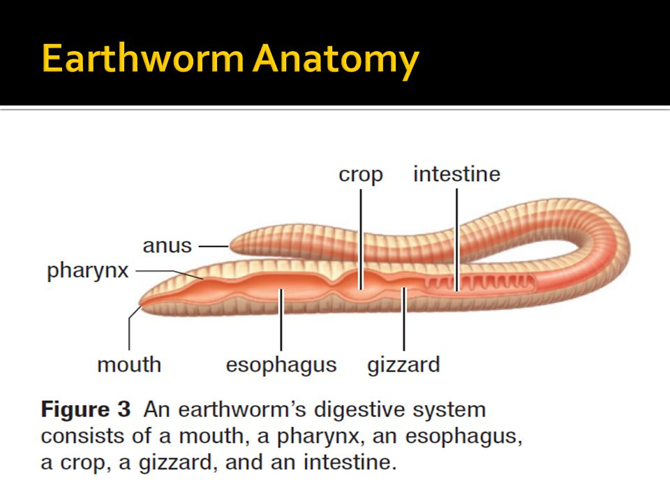 earthworm dissection digestive system 4 4 digestion in the and stomach ppt