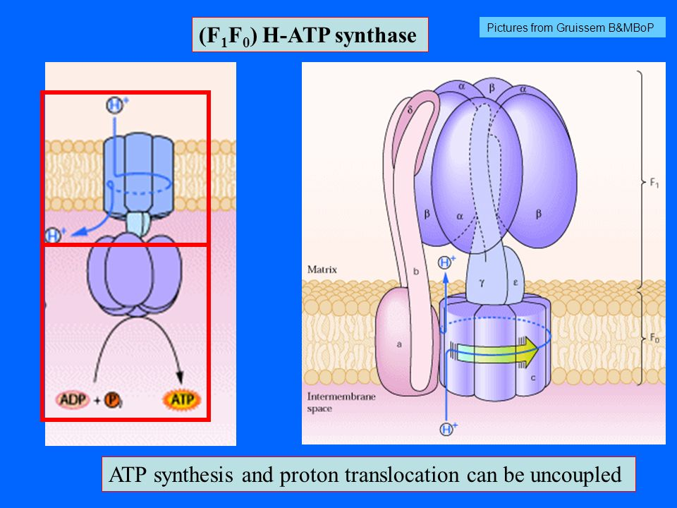 ATP synthesis and proton translocation can be uncoupled