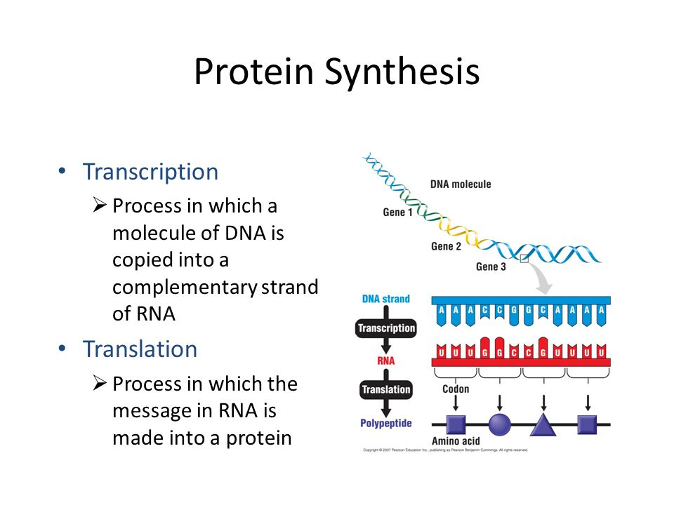 Protein Synthesis. - ppt video online download