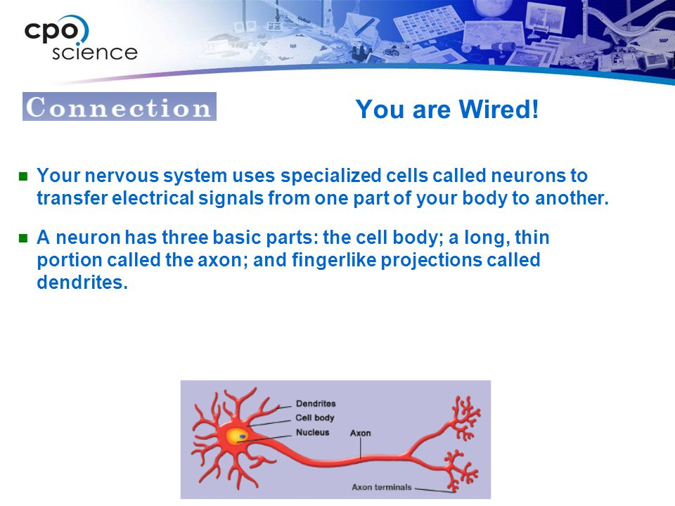 You are Wired! Your nervous system uses specialized cells called neurons to transfer electrical signals from one part of your body to another.