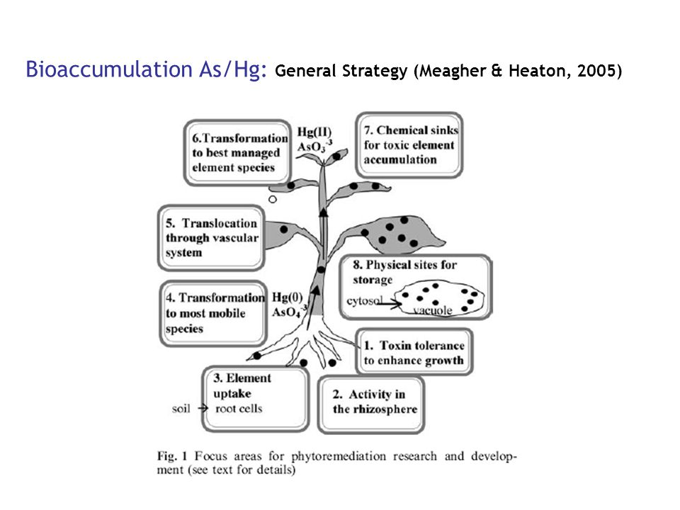 Bioaccumulation As/Hg: General Strategy (Meagher & Heaton, 2005)