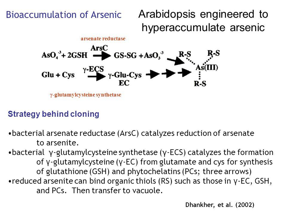 γ-glutamylcysteine synthetase