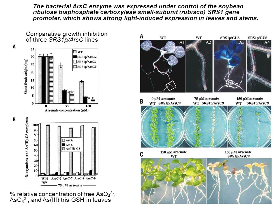 The bacterial ArsC enzyme was expressed under control of the soybean ribulose bisphosphate carboxylase small-subunit (rubisco) SRS1 gene promoter, which shows strong light-induced expression in leaves and stems.