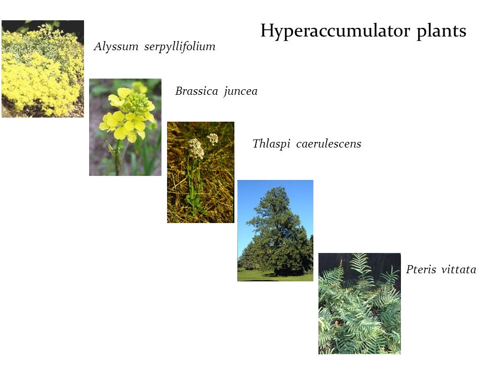 Hyperaccumulator plants