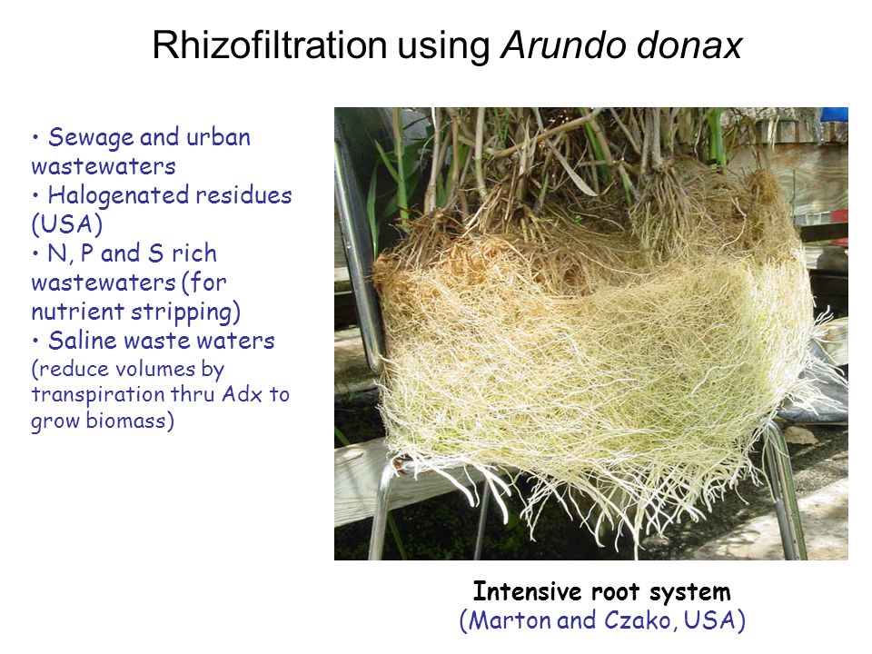 Rhizofiltration using Arundo donax